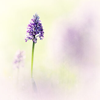 Military orchid in a field - BSTF00113