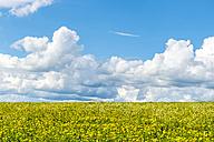 Germany, Fulda, Rhoen, sky with clouds above dandelion field - FRF00511