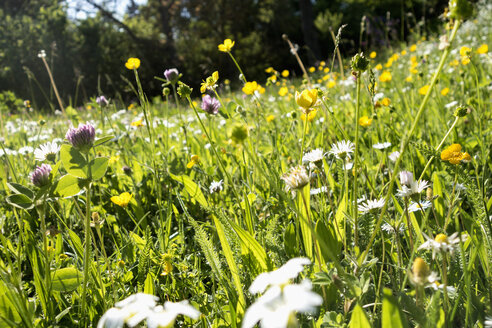 Flowers on a summer meadow - NDF00650