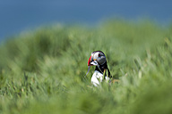 United Kingdom, England, Skomer, Atlantic puffin with prey - MJOF01367