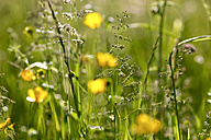 Grasses on a summer meadow, close-up - JTF00809