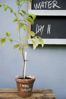Potted tomato plant with reminder - GISF00287
