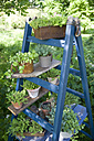 Potted plants on blue ladder in the garden - GISF00290