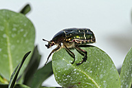 Green rose chafer on a leaf - ZCF00514