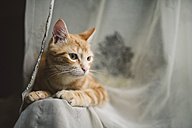 Portrait of tabby cat on the backrest of a couch - RAEF01885