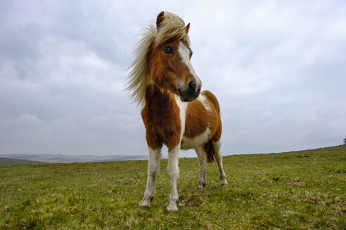 UK, Devon, Dartmoor pony at Dartmoor National Park - SIEF07435