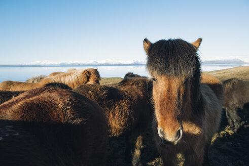 Iceland, Icelandic horses - RAEF01896