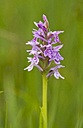 Heath Spotted Orchid - ZCF00522