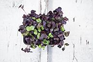 Organic Sango radish cress - LVF06184