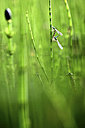 Emerald Damselflies paired up and in the process of laying eggs - DSGF01684