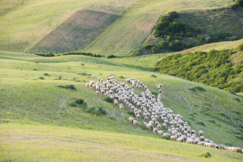 Italy, Tuscany, Val d'Orcia, flock of sheep grazing in meadow - LOMF00589