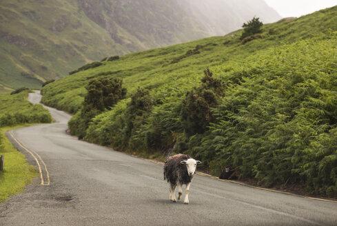 UK, England, sheep walking on country road - FCF01205