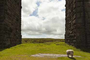 UK, England, North Yorkshire, sheep at Ribblehead Viaduct - FCF01208