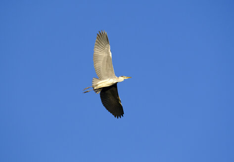 Flying grey heron against blue sky - SIEF07457