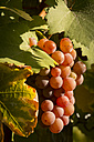 Red grapes hanging from vine at evening light - SJF00202