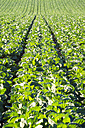 UK, Scotland, East Lothian, young plants on Brussels Sprout field - SMAF00762