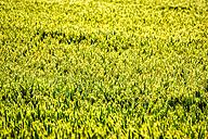 UK, Scotland, wheat field - SMAF00765