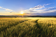 UK, Scotland, East Lothian, field of wheat at sunset - SMAF00768