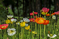 Poppies on a meadow - PUF00659