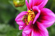 Honeybee at dahlia - JTF00833