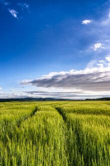 UK, Scotland, East Lothian, field of barley at evening twilight - SMAF00773