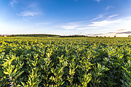 UK, Scotland, East Lothian, view of broad bean field - SMAF00791