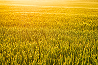Wheat field at sunset - SMAF00809