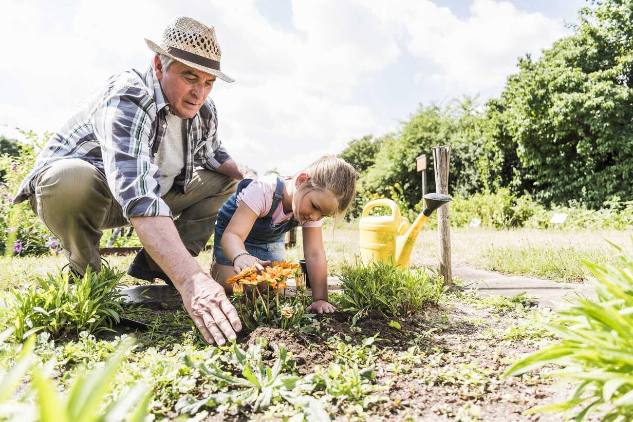 Grandfather and granddaughter in the garden examining flowers - UUF11334 - Uwe Umstätter/Westend61