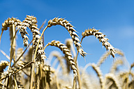 Ears of wheat against blue sky - FRF00533