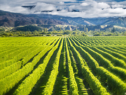 New Zealand, South Island, Marlborough, vineyard in Blenheim - STSF01298