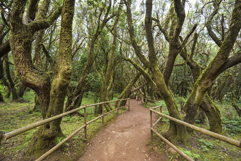 Canary Islands, La Gomera, Garajonay National Park, Rainforest - DHCF00135