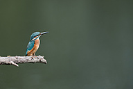 Kingfisher perching on branch - MJOF01389