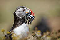 UK, Wales, portrait of Atlantic puffin with prey - MJOF01392