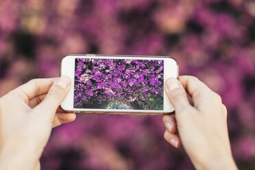 Woman's hands taking cell phone picture of pink blossoms - JPF00274