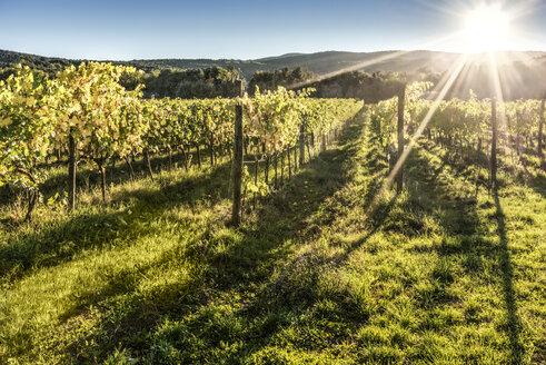 Italy, Tuscany, vineyard in backlight - CSTF01346