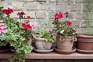 Potted Geranium flowers on a shelf in front of brick wall - CZF00300