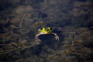 Pool frog in water - NDF00665