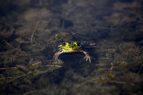 Pool frog in water - NDF00665
