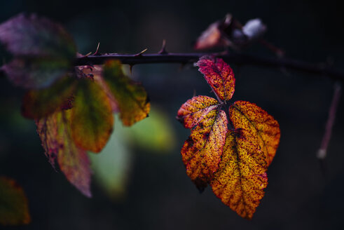 Blackberry leaves in autumn - MJF02158