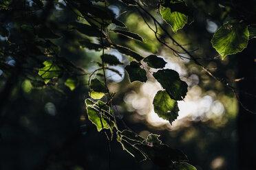 Twig of hazel tree at backlight - MJF02161