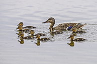 Female mallard with eight ducklings in water - SIPF01648