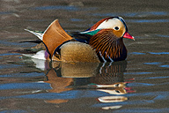 Swimming male Mandarin duck - SIPF01654