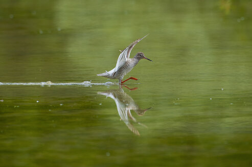 Ruff landing on water - SIPF01657