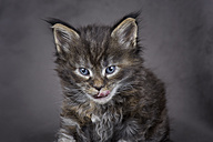 Licking Maine Coon kitten - MJOF01395
