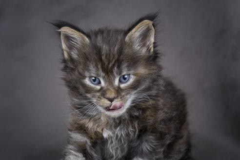 Licking Maine Coon kitten - MJOF01395
