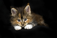 Maine Coon kitten in front of black background - MJOF01398