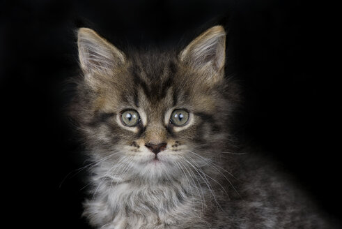 Portrait of Maine Coon kitten in front of black background - MJOF01401