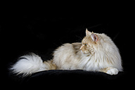 Maine Coon lying in front of black background - MJOF01402