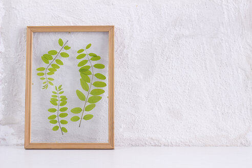 Pressed and framed leaves of locust in front of white wall - CMF00717