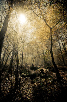Italy, Piedmont, forest in sunlight - SIPF01665